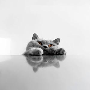 Download Cat Live Wallpaper 9.0 APK